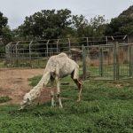 The 'malnourished' camel.