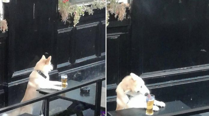 Cheeky dog laps up a pint.